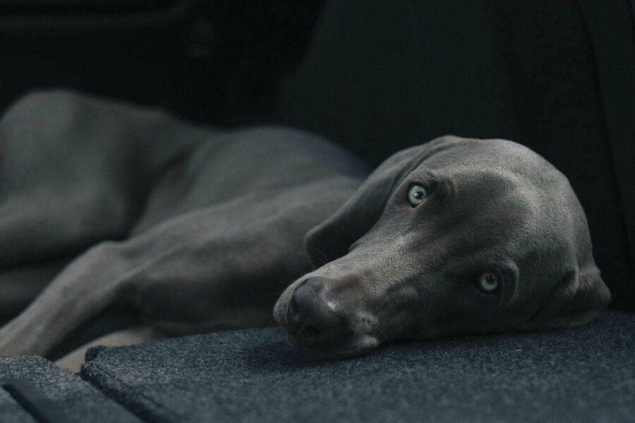 cane in penombra