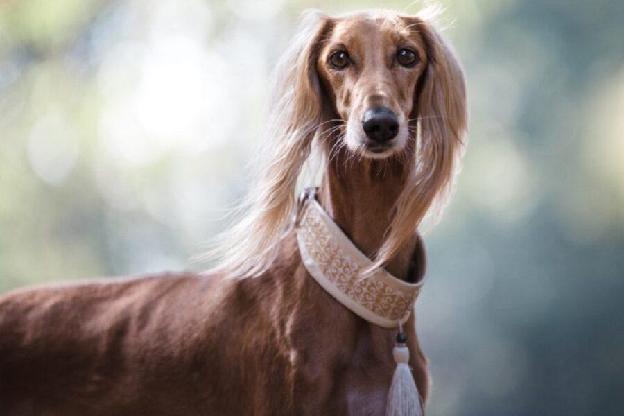 cane con orecchie lunghe
