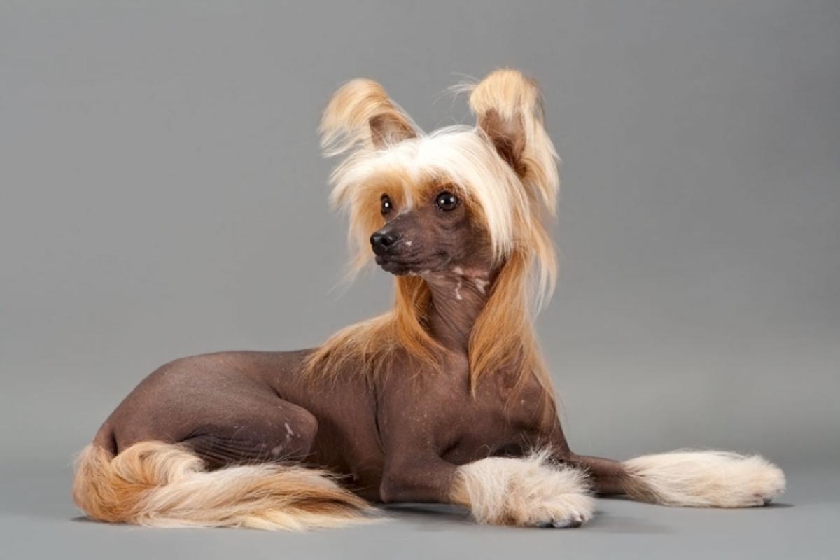 cane con capelli