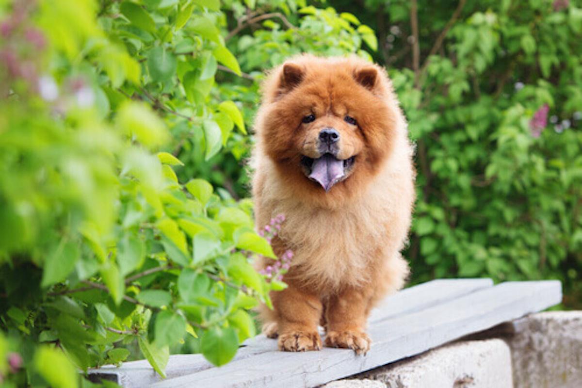 cane orsacchiotto