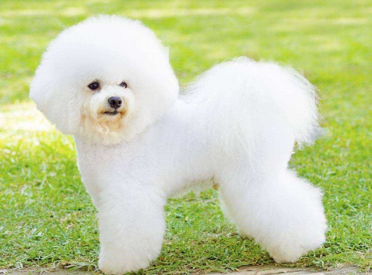 cane pelo bianchissimo