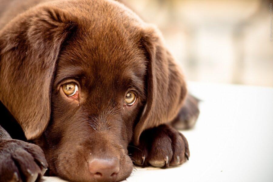 cucciolo di cane labrador marrone
