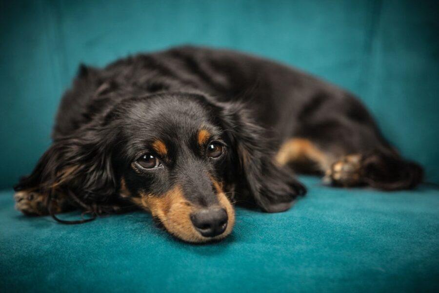 cane disteso sul divano