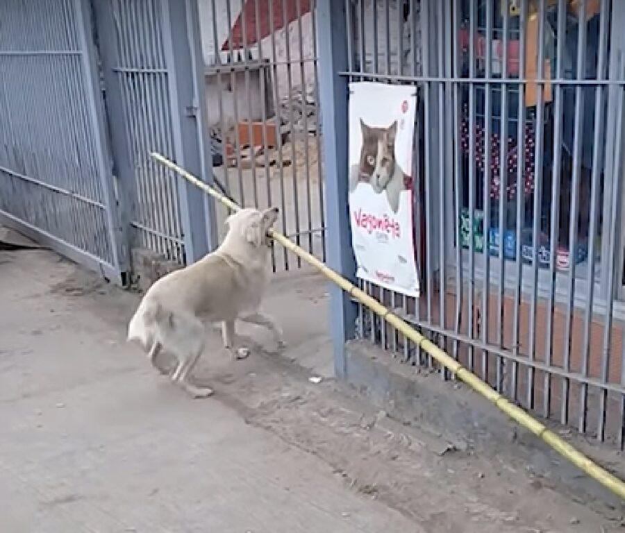 oki cucciolo labrador bambù cancello