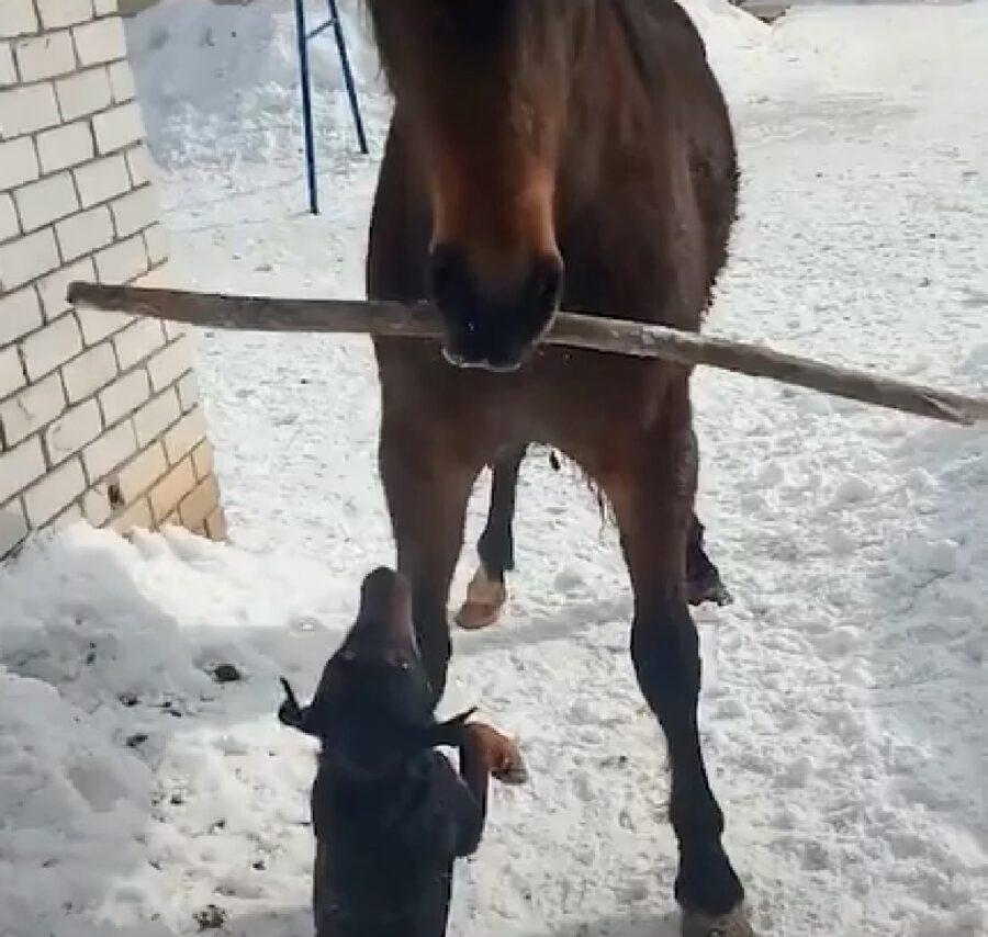 malysh cucciolo pinscher bazor cavallo