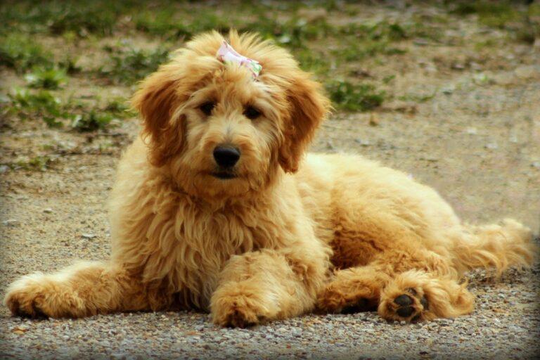 cane peloso dolce