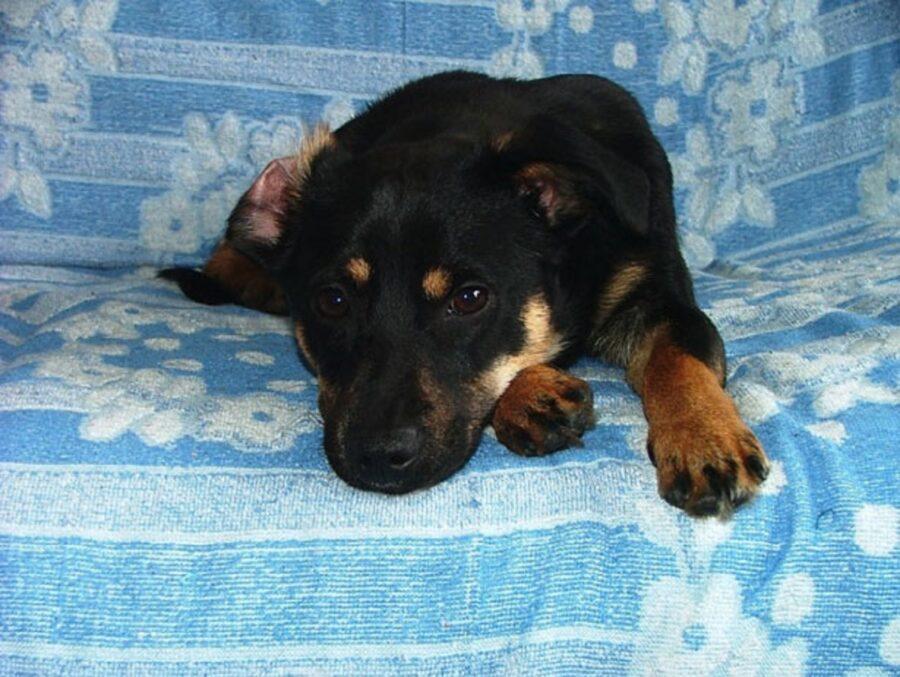 cane coperta divano