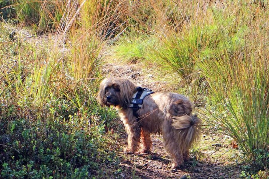 cane peloso passeggiata
