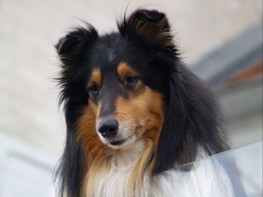 cane arancione nero