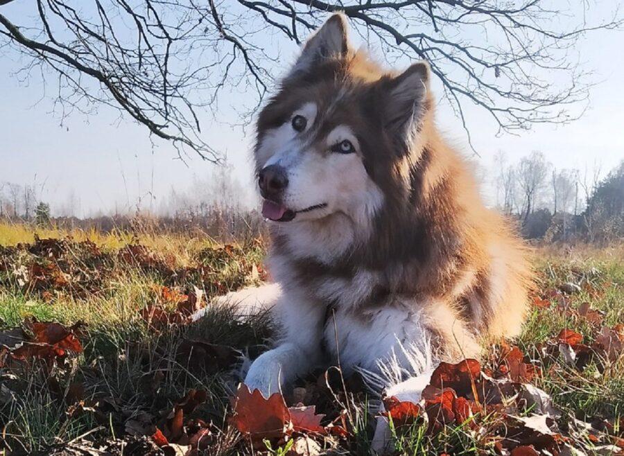 husky dolce cane