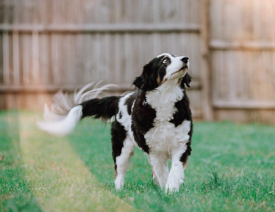 cane felice scodinzola