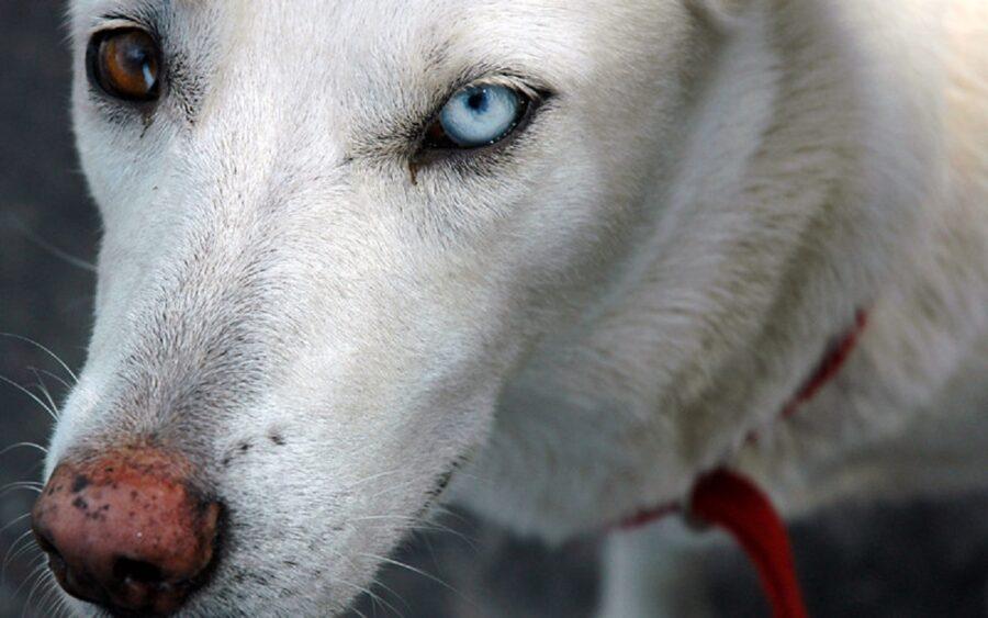 cane bianco sguardo