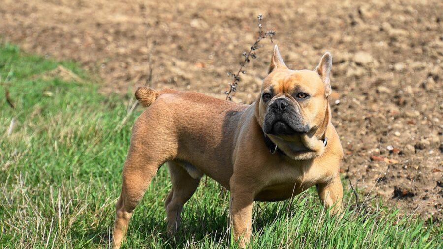 cane erba dolce