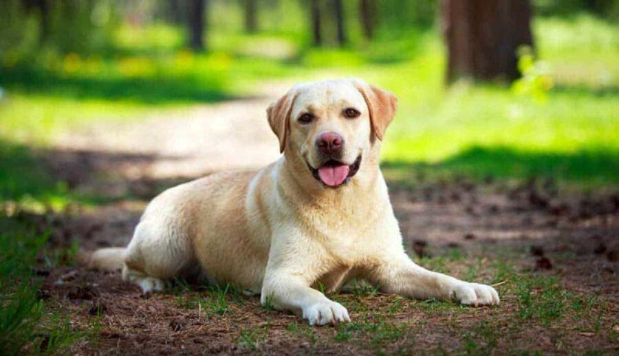 labrador cane seduto