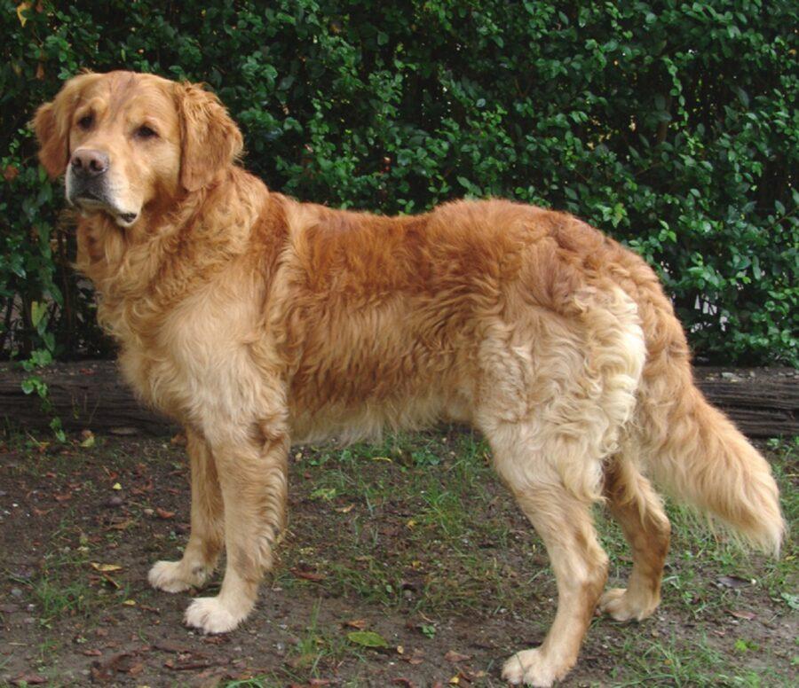 cane dorato dolce