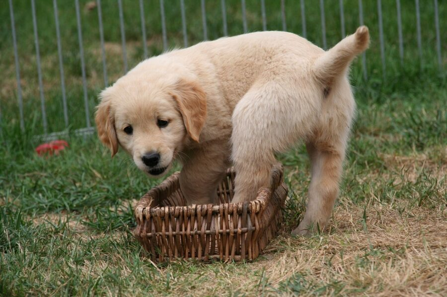 cucciolo cesta giocare