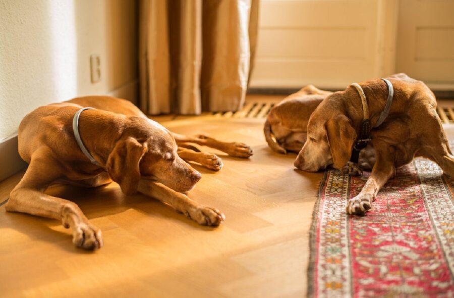 cani pisolino assieme