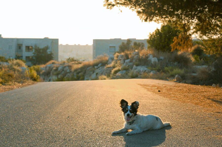 cagnolino strada sdraiato
