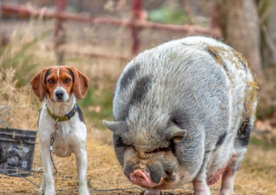 cane maiale amici sito