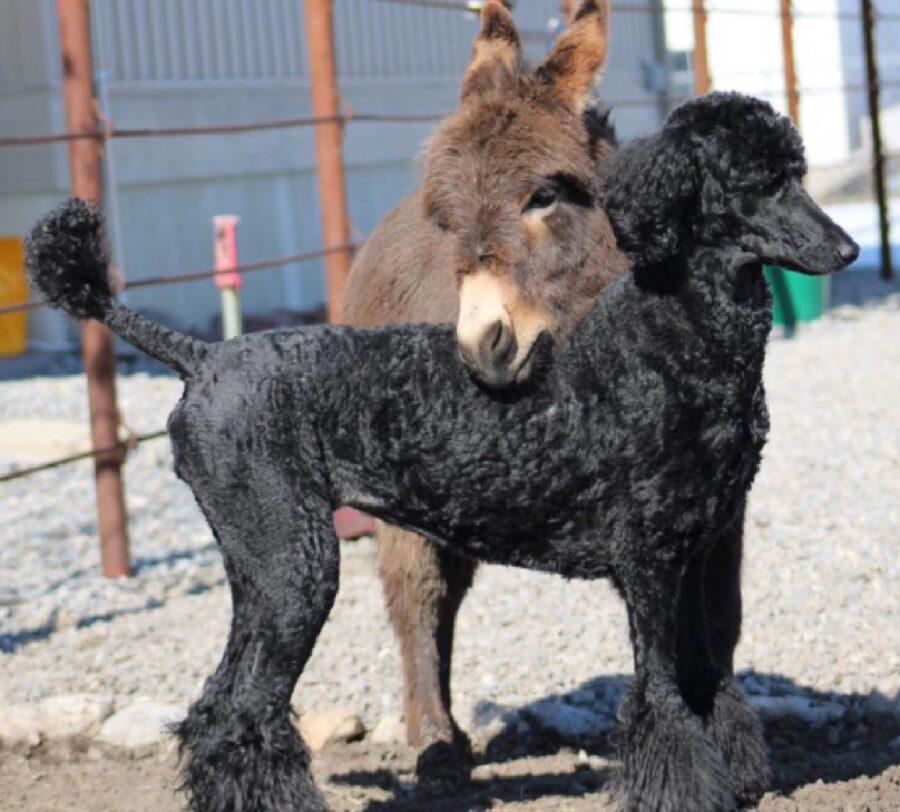 cane nero barboncino amico asino