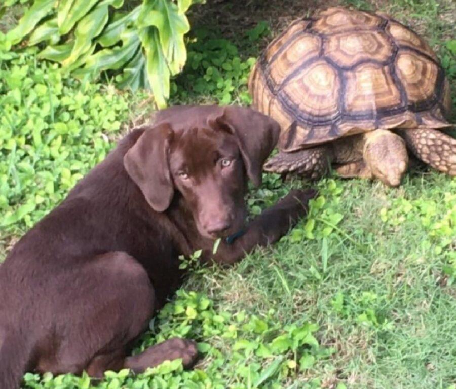 cane labrador tartaruga giardino