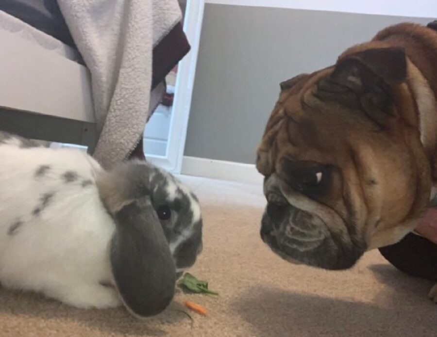 cane coniglio bulldog eespressione