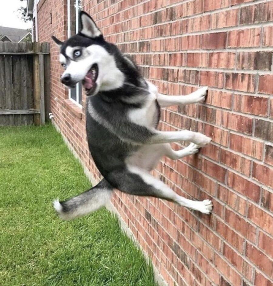 cane husky muro