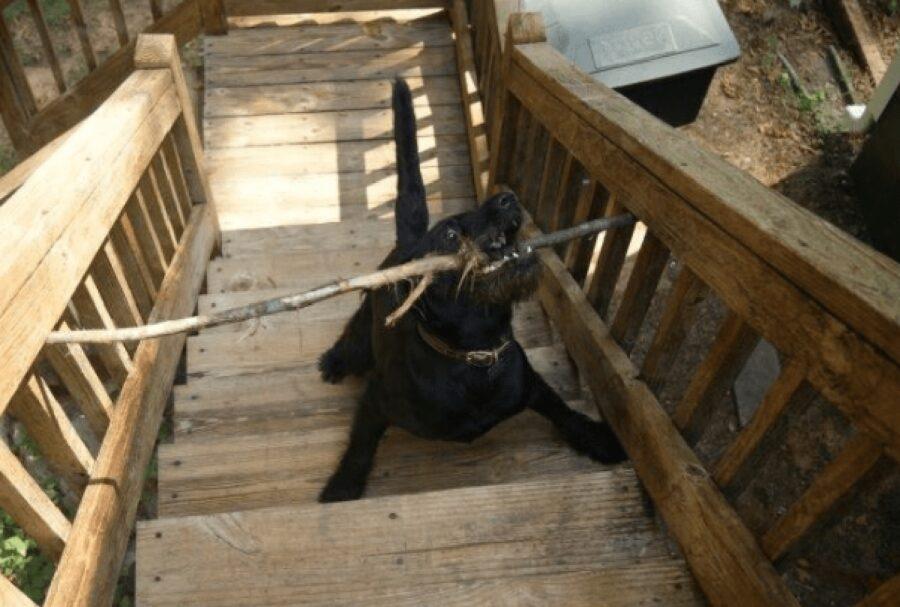 cane incastrato con bastone