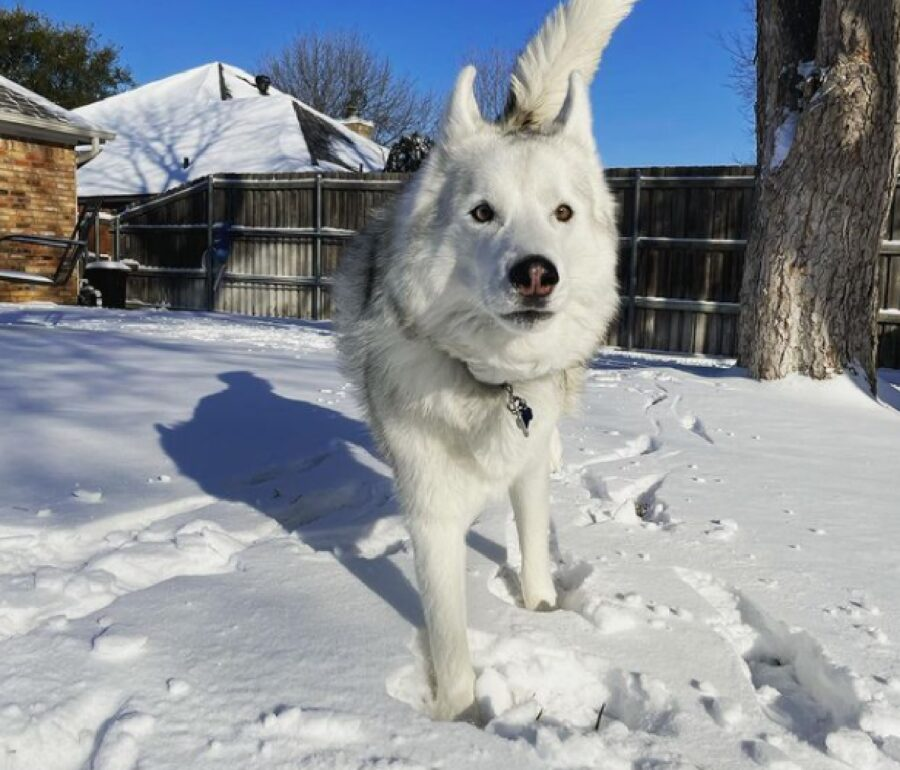 cane lupo recinto dentro casa