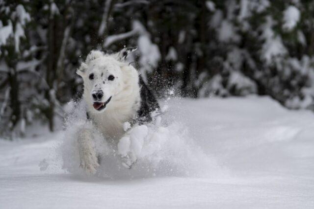 cani che giocano paesaggio innevato