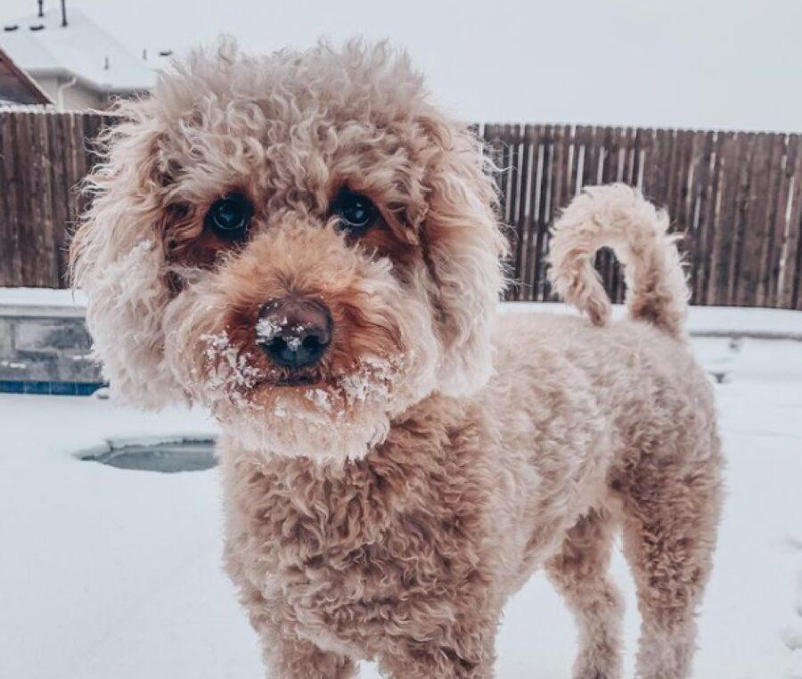cane pelo riccio gioca inverno