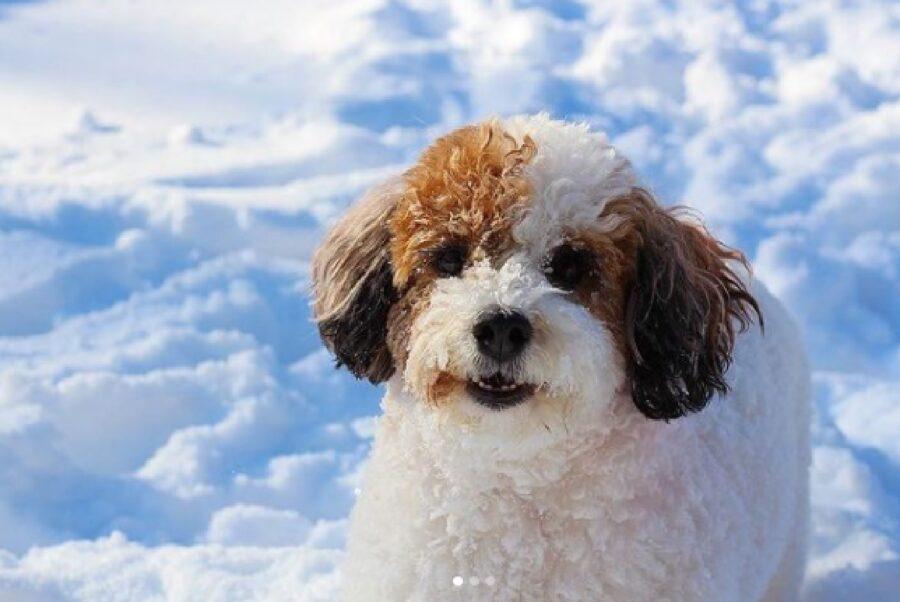 cane bianco orecchie marroni