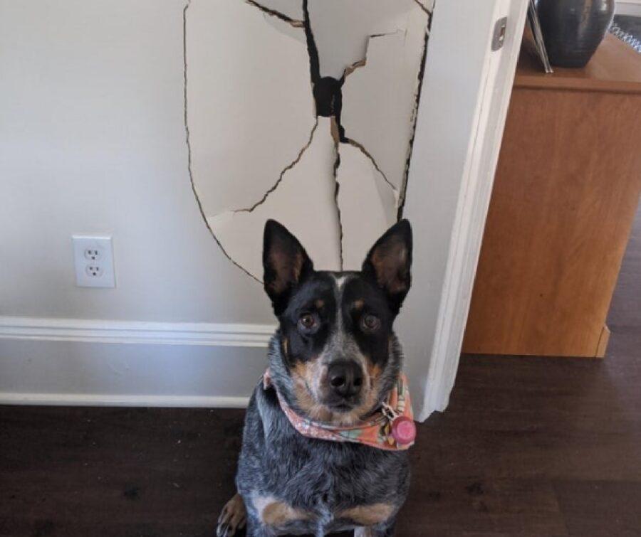 cane pastore australiano distrugge muro