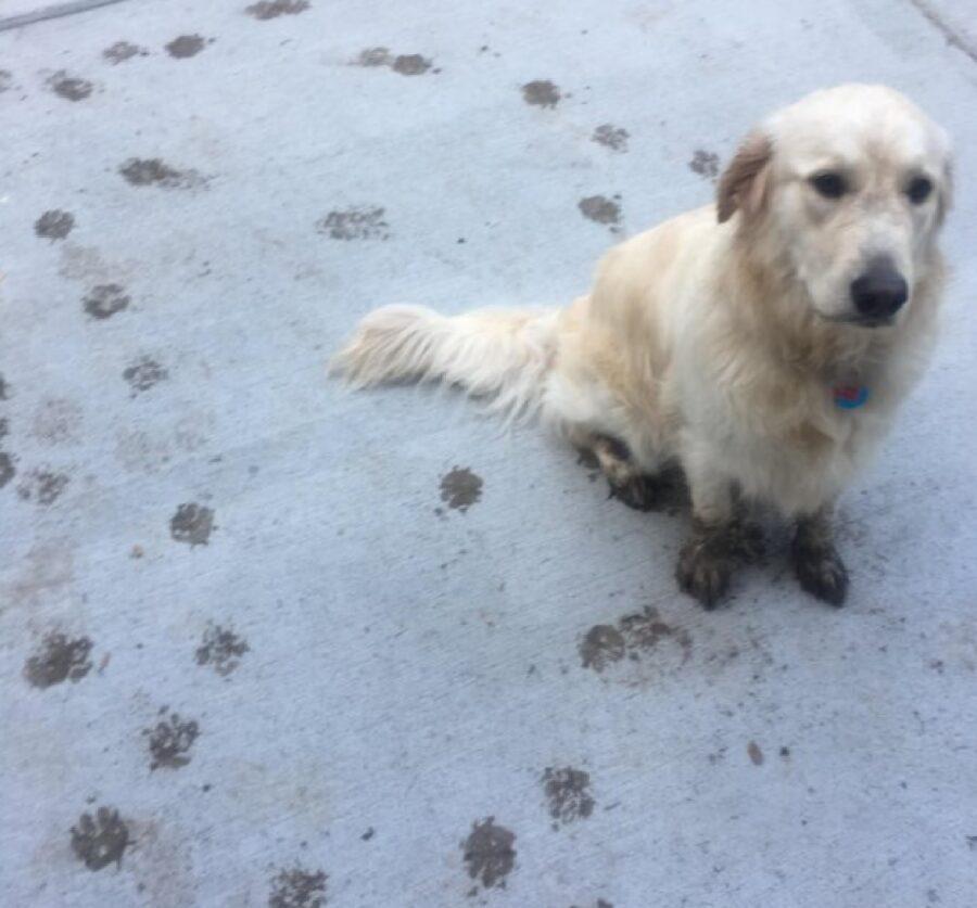 cane bianco ha giocato nel fango