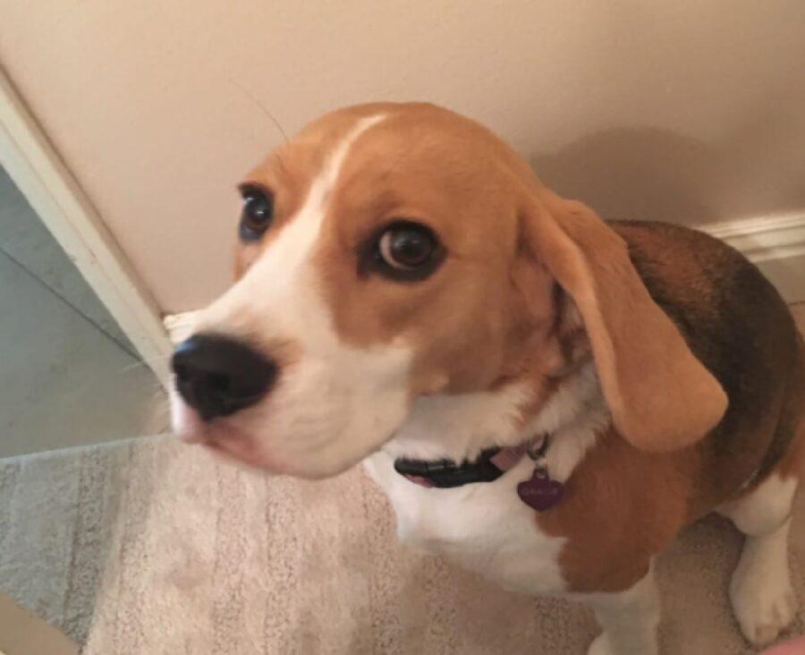 cane beagle felice del momento