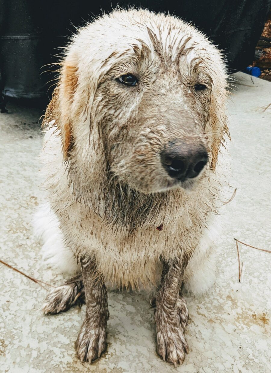cane grande sporco