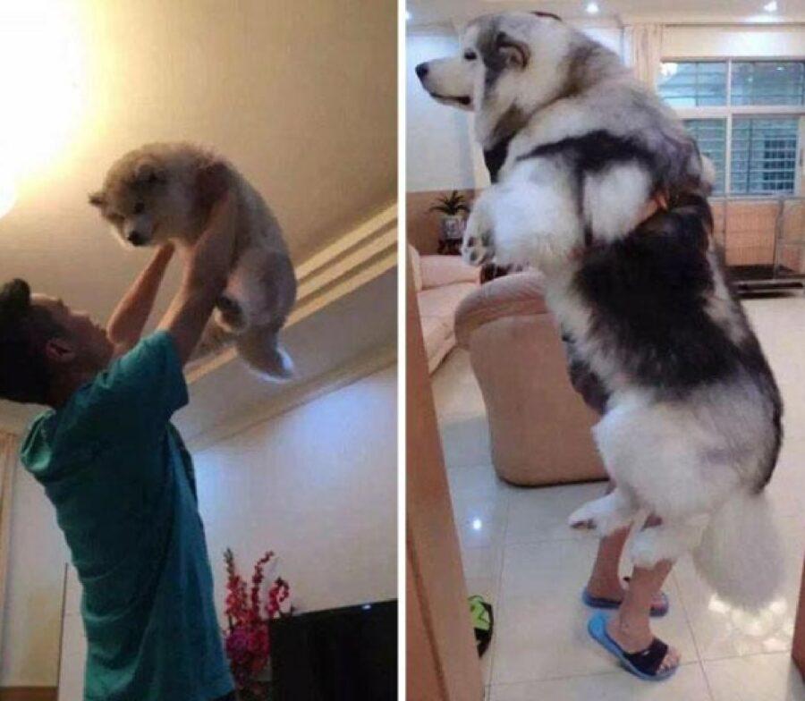 cane talmente grosso da nascondere papà