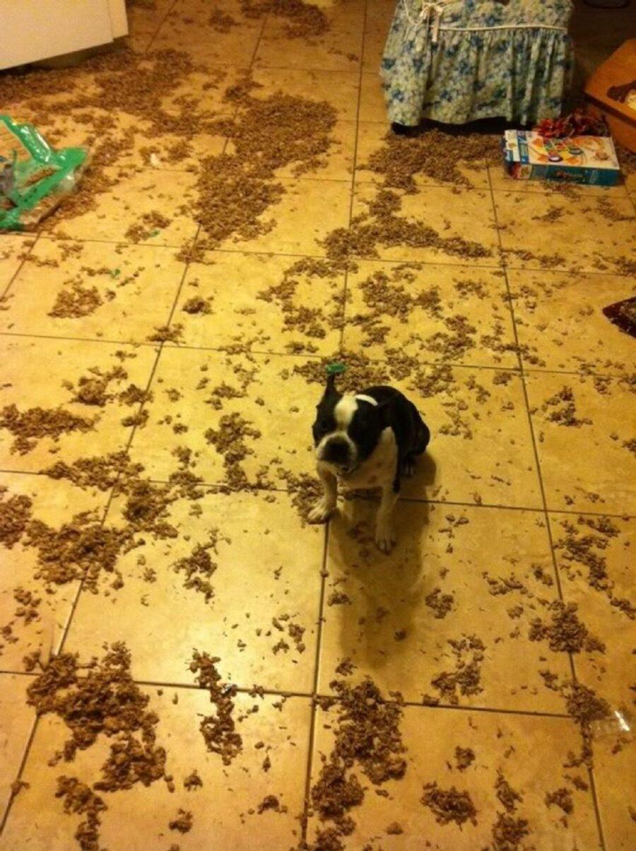 cane pavimento bulldog