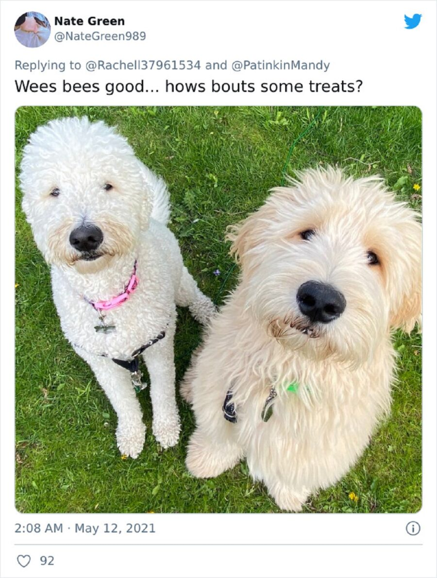 due cuccioli pelosi
