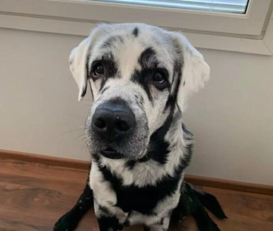 cane bianco con macchie nere