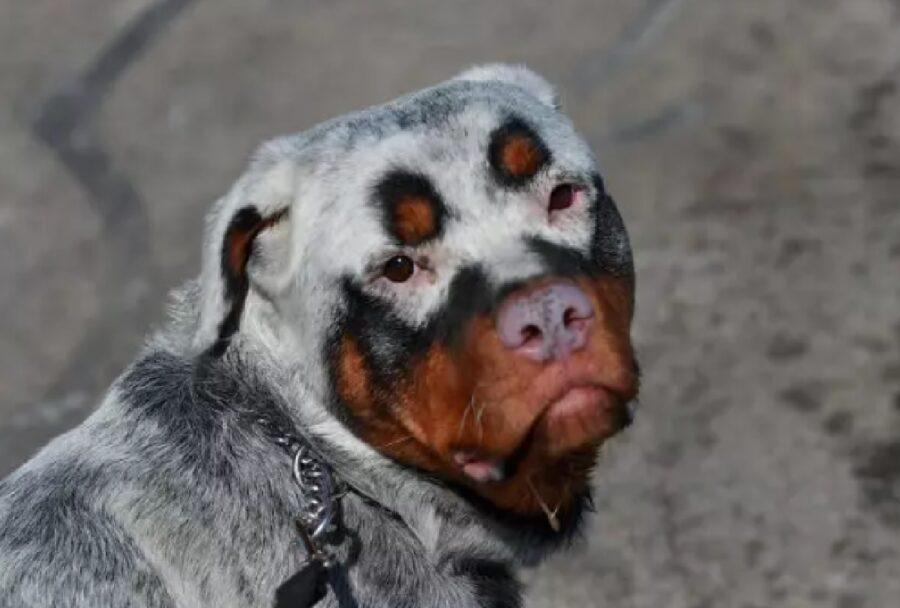 cane muso marrone pelo bianco
