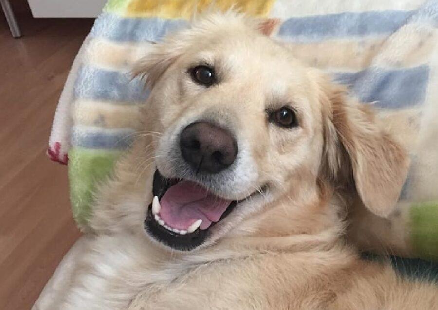 cucciolo golden retriever felicità