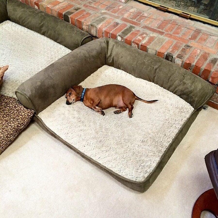 cane bassotto dorme