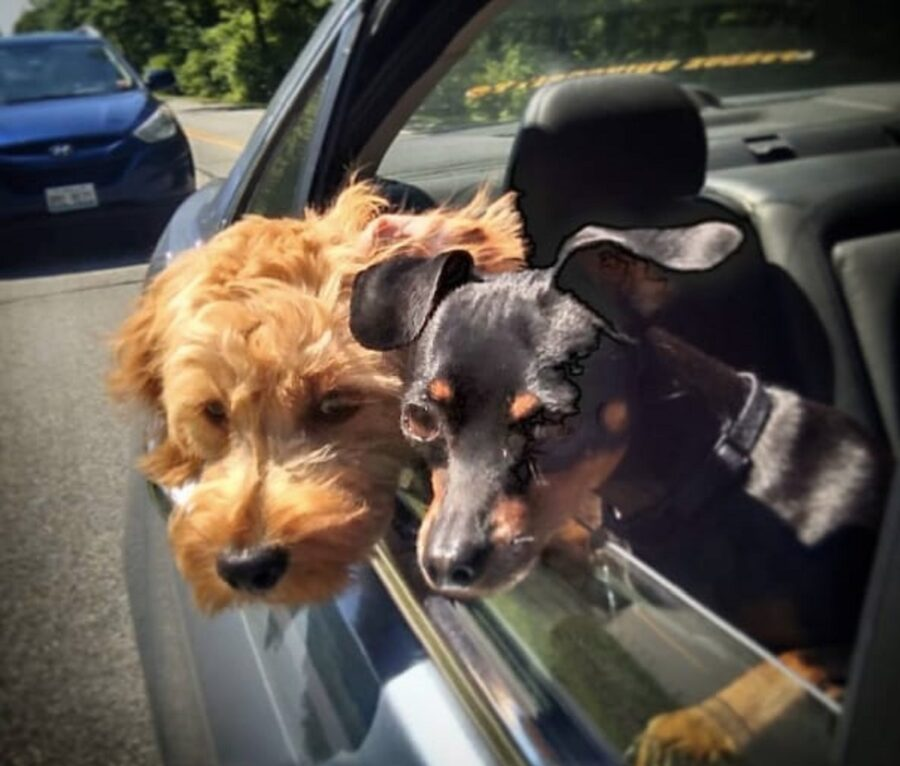 cuccioli finestrino auto