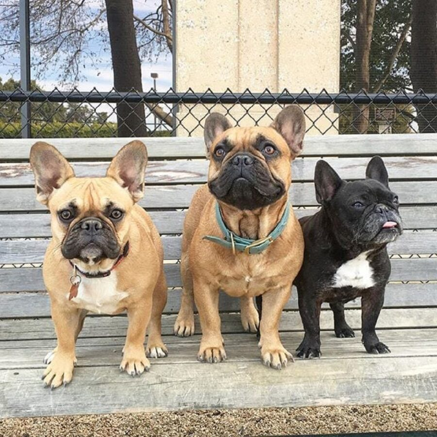 bulldog francesi tre