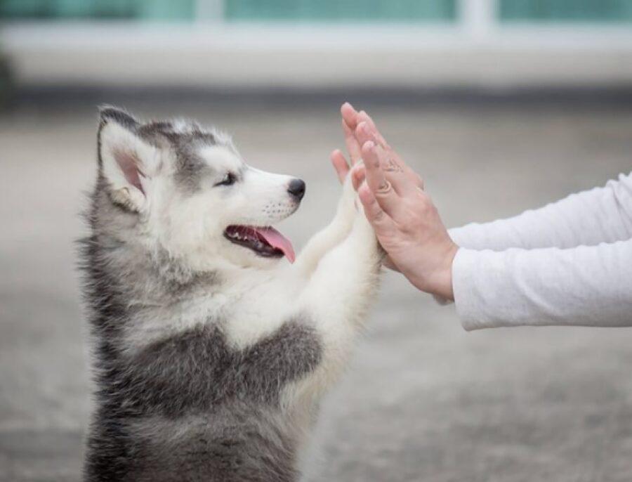 cucciolo husky batte mani