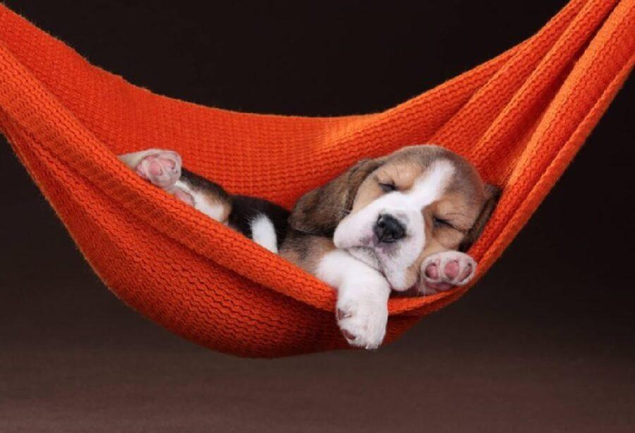 cucciolo beagle dondola amaca
