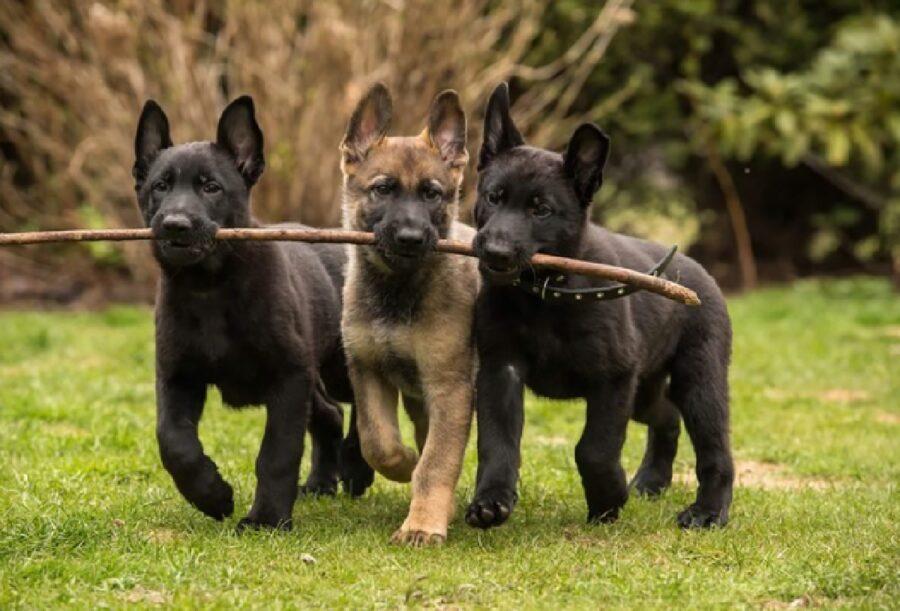 cuccioli giocano con bastone