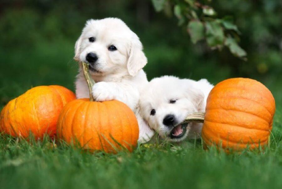 cuccioli preparano giornata halloween