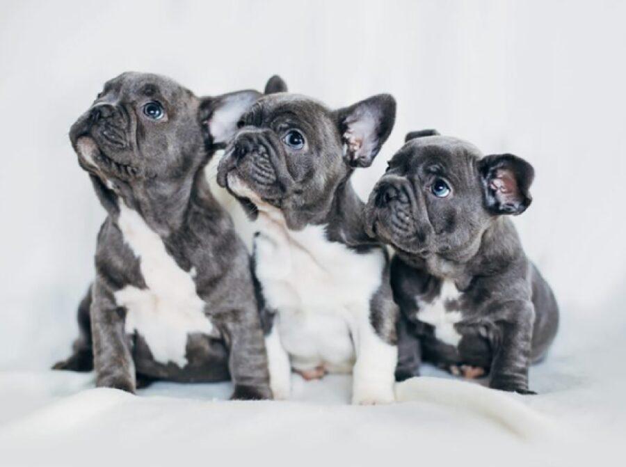 cucciol bulldog guardano alto sinistra